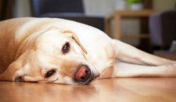اعراض مرض بارفو عند الكلاب