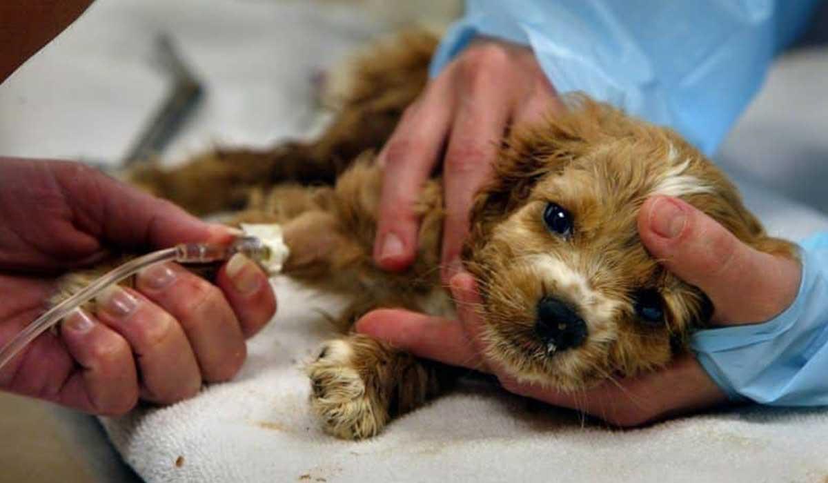 علاج مرض البارفو في الكلاب