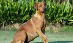 علامات الحمل عند الكلاب
