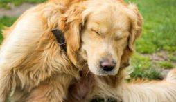 مرض الجرب في الكلاب