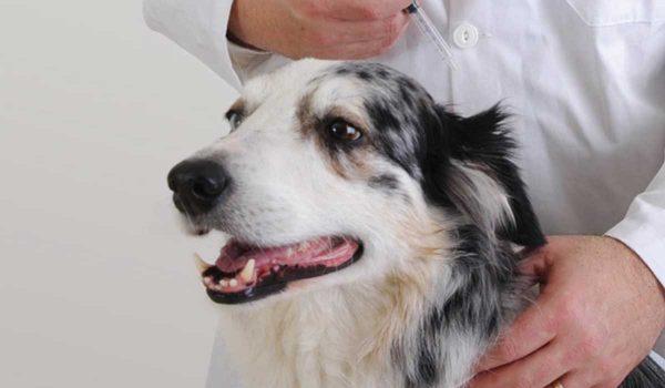جدول تطعيم الكلاب