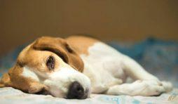 فقر الدم في الكلاب