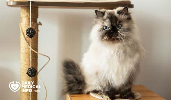مواصفات قطط الهملايا