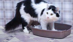 احتباس البول عند القطط