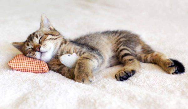 كيف أجعل قطتي تنام ليلا