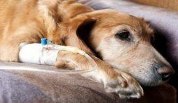 التسمم بسكر الكحول في الكلاب