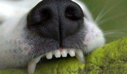 هل يسبب دراي فود الكلاب مشاكل الأسنان