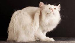 دواء براغيث القطط بدون فائدة