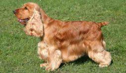 سلالة كلاب كوكر اسباني