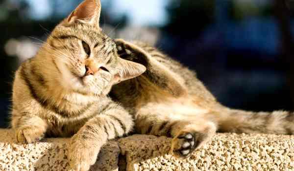 طريقة التخلص من براغيث القطط