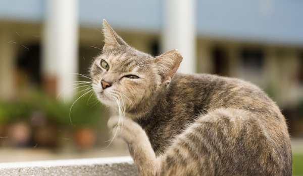 طريقة القضاء على البراغيث في القطط