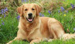 كلب جولدن ريتريفر