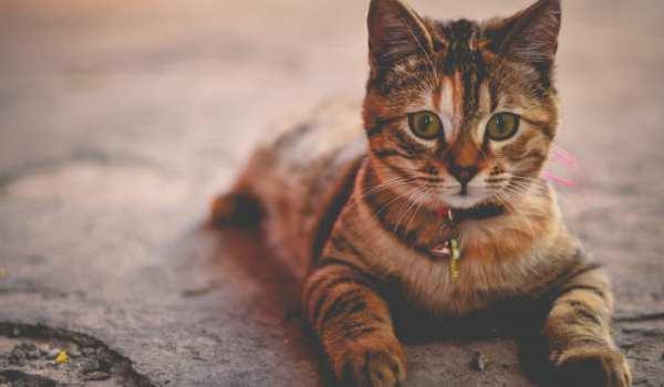 ما هي أمراض القطط الشائعة