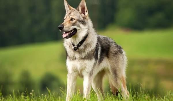 معلومات مهمة عن كلب الولف