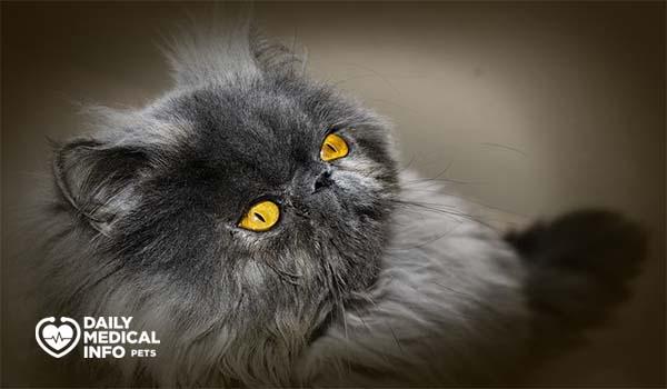 القط الشيرازي بيكي فيس