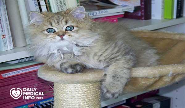 القط الشيرازي رأس الدمية