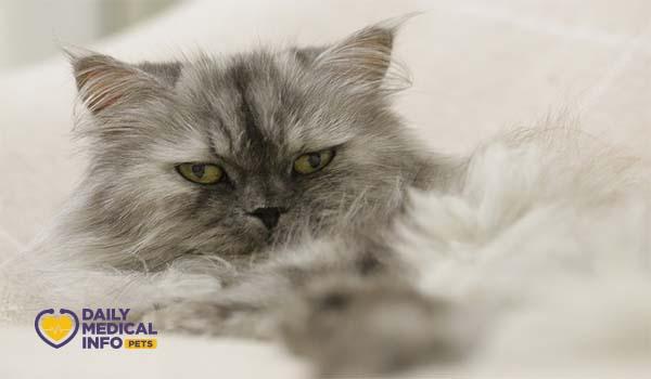 القط الشيرازي شانشيلا