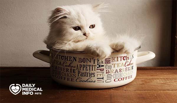 القط الشيرازي فنجان الشاي 31
