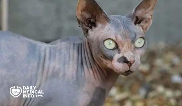القط الفرعوني المخطط Tabby