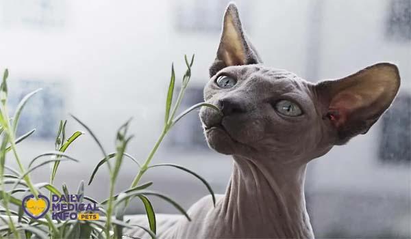 القط الفرعوني المنك Mink Pattern