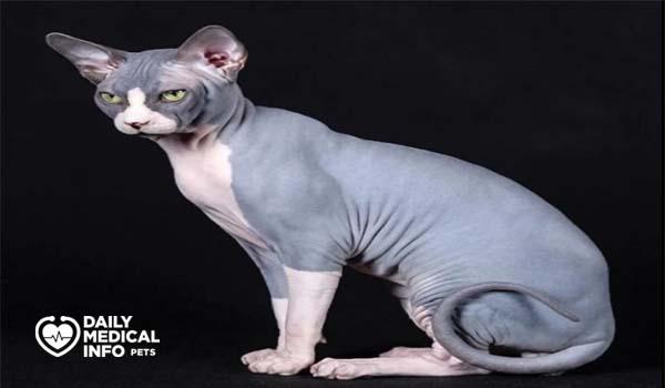 القط الفرعوني ذو اللونين Bi-Color