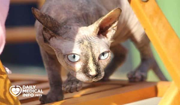 القط الفرعوني صدفة السلحفاة Tortoiseshell