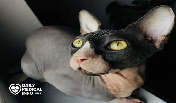 القط الفرعوني كاليكو Calico