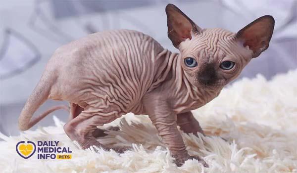القط الفرعوني Pointed Pattern