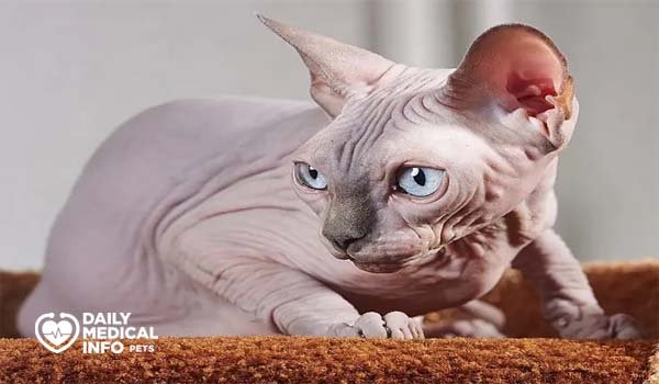 القط الفرعوني Solid Color