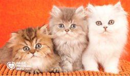 انواع القطط الشيرازى