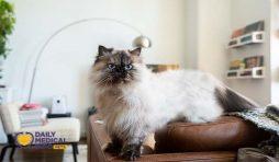 انواع قطط الهيمالايا