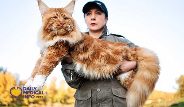 تربية قط ماين كون