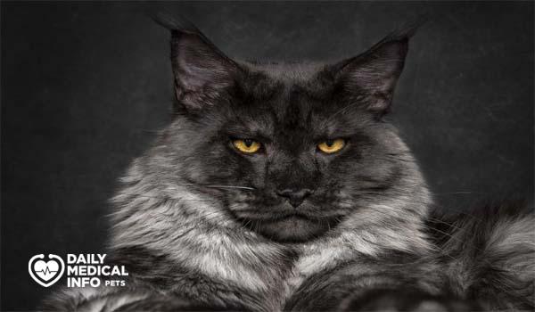 قط ماين كون أسود