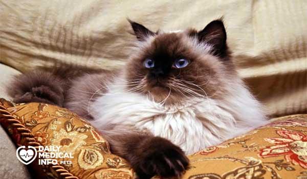 قط هيمالايا مون فيس