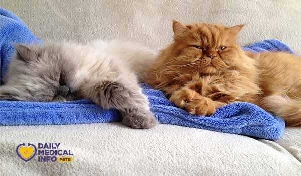 نوم القطط الشيرازي