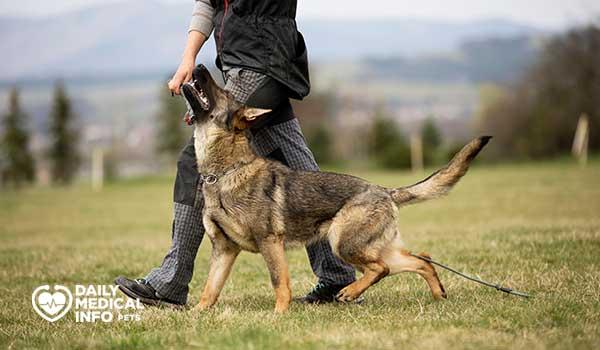 تدريب كلاب الجيرمن على الطاعة