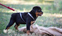 تدريب كلاب الروت وايلر