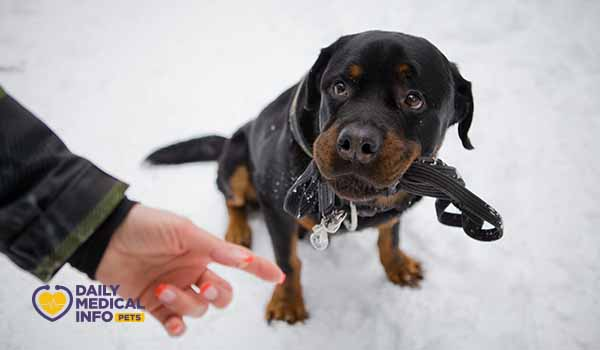 تعليم كلب روت وايلر الأوامر البسيطة