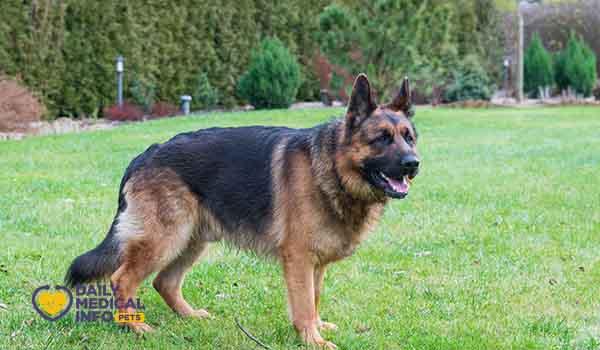كلب جيرمن عمر سنتين