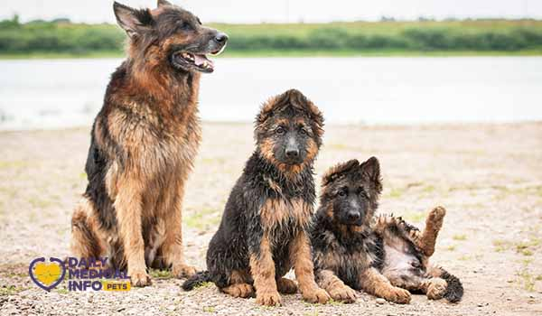 مراحل نمو الكلاب الجيرمن شيبرد