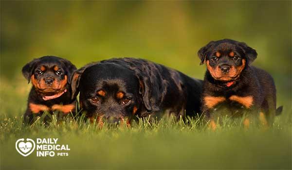 مراحل نمو كلاب الروت وايلر