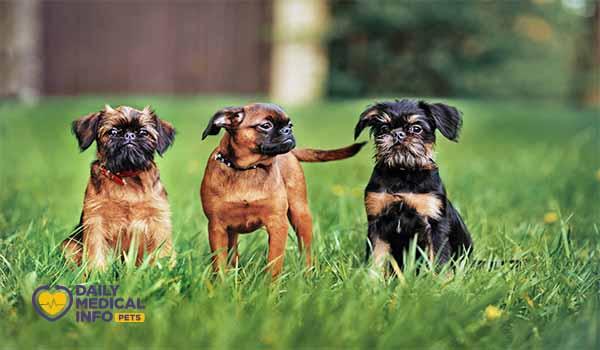 كلاب الجريفون