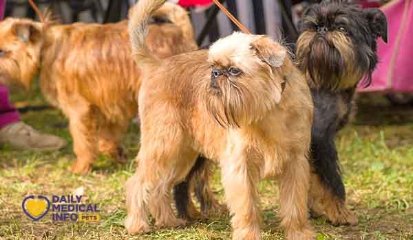 مواصفات كلب جريفون