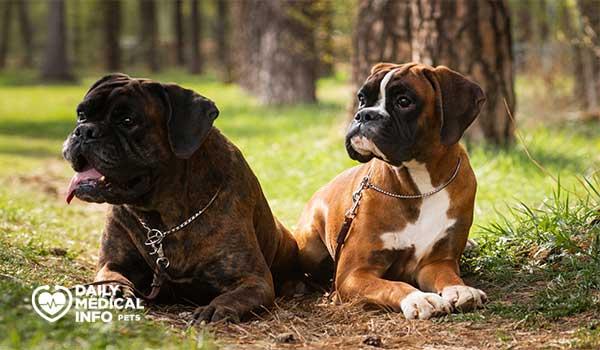 أنواع الكلاب البوكسر