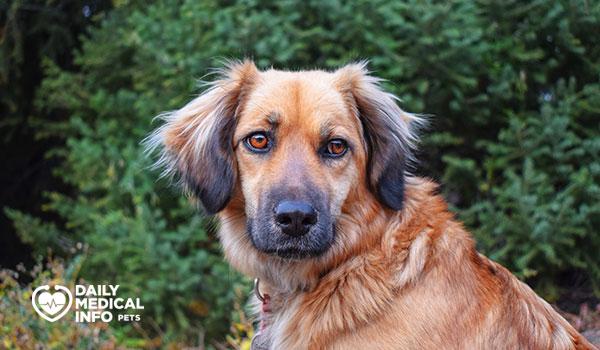 استريلا كلب الجبل Estrela Mountain Dog