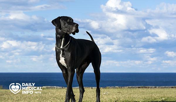 الكلب الدانماركي الضخم AGreat Dane
