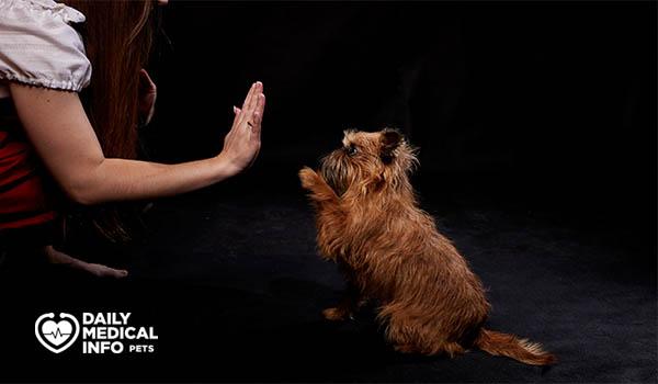 تدريب كلاب الجريفون