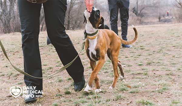 تدريب كلب بوكسر