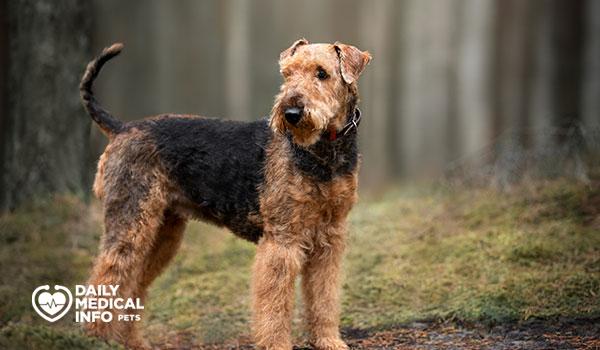كلب آريدال ترير Airedale Terrier