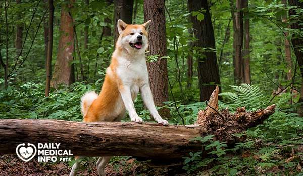 كلب أكيتا Akita